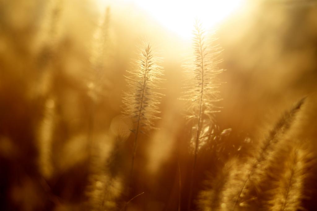 Gold light in wheat field